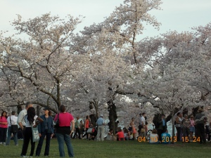 Cherry Blossoms 003