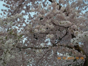 Cherry Blossoms 056